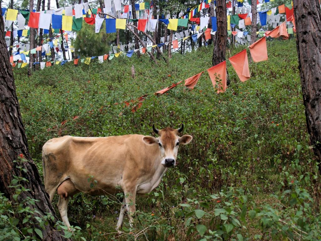Monastery Cow